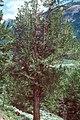 Pinus aristata tree.jpg
