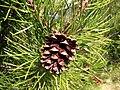 Pinus contorta 8150.jpg