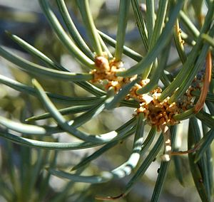 Fascicle (botany) - Single-needled fascicles on a twig of Pinus monophylla