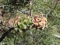 Pinus monophylla kz04.jpg