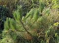 Pinus pinaster02.jpg