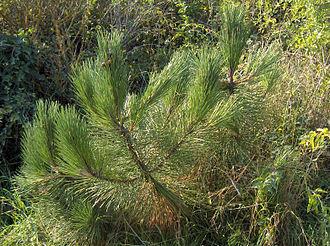 Pinus pinaster - Image: Pinus pinaster 02