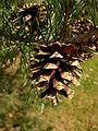 Pinus sylvestris open cones.jpg