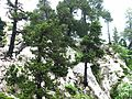 Pinus uncinata - Flickr - S. Rae.jpg