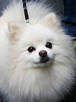 Pipin Pomeranian.jpg