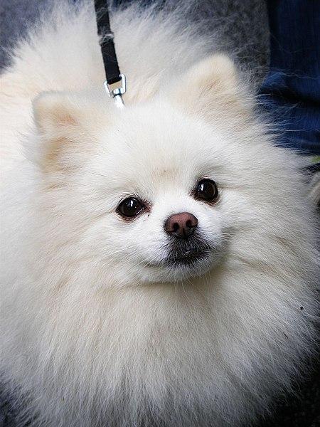 File:Pipin Pomeranian.jpg - Wikipedia Pomeranian Wiki