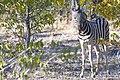 Plains Zebra Bush 2019-07-26.jpg