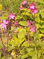 Plante de sous-bois clairs 20150523 162522 - 02.jpg