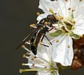 Platycheirus albimanus (female) - Flickr - S. Rae (4).jpg