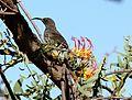 Plicosepalus sagittifolius Makueni County 8.jpg