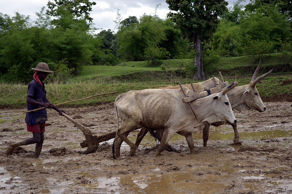 Ploughing a paddy field with oxen, Umaria district, Madhya Pradesh, India