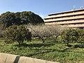Plum trees in Higashi, Fukuoka 20190212-2.jpg