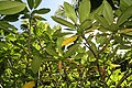 Plumeria rubra 23zz.jpg