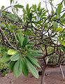 Plumeria rubra kz1.JPG