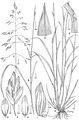 Poa wendtii - PhytoKeys-015-001-g022.jpeg