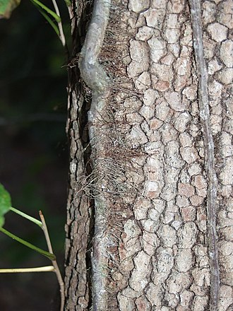 Toxicodendron radicans - Image: Poison ivy vine