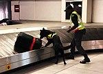 Polizeihund Flughafen sucht Drogen (45109804352).jpg