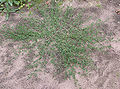 Polygonum aviculare, Gewoon varkensgras plant.jpg