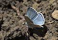 Polyommatus dorylas - Turkuvazmavisi 01-4.jpg