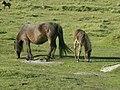 Ponies - geograph.org.uk - 270256.jpg