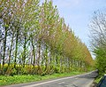 Poplar windbreak - geograph.org.uk - 6167.jpg