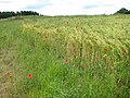 Poppy-speckled barley field - geograph.org.uk - 850960.jpg