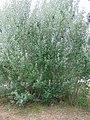 Populus alba running wild, Towrang.jpg