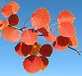Populus tremula Осина Осенние листья.jpg
