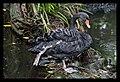 Port Douglas Black Swan-1 (4955256536).jpg
