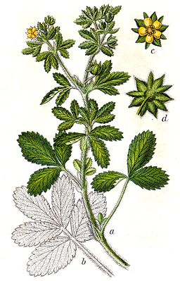 Norwegisches Fingerkraut (Potentilla norvegica)
