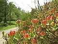 Průhonice, zámecký park, pupeny rododendronů.JPG