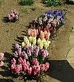Praha, Troja, Botanická zahrada, hyacinty různých barev.JPG