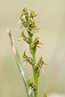 <i>Prasophyllum tadgellianum</i> species of plant