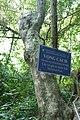 Premna corymbosa-Me Cung Cave (1).jpg
