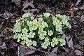 Primrose - Primula vulgaris - panoramio (1).jpg
