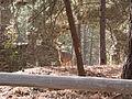 Princeton Castle - deer in the ruins.jpg