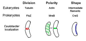 Prokaryotic cytoskeleton - Image: Prokaryotic Cytoskeleton
