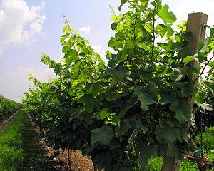Prosecco - Glera grapes on the vine in the Prosecco zone pre-veraison