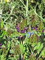 Prunella vulgaris lanceolata dark purple (9236816387).jpg