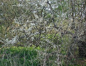 Prunus-spinosa-habit.JPG