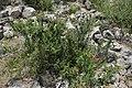 Prunus (Cerasus) tianschanica (Rosaceae) (32424719584).jpg