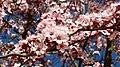 Prunus cerasifera var. pisardii. Guindal-cerezal xaponés.jpg
