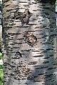 Prunus cerasus Montmorency tree bark 17.jpg