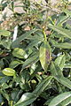 Prunus laurocerasus 10746.JPG