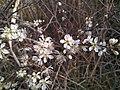 Prunus spinosa, Santa Coloma de Farners.jpg