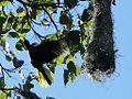 Psarocolius wagleri around nest (Henri Pittier, Venezuela).jpg