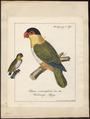 Psittacus melanocephalus - 1700-1880 - Print - Iconographia Zoologica - Special Collections University of Amsterdam - UBA01 IZ18600073.tif