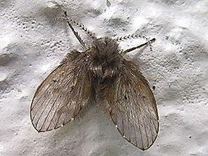 Schmetterlingsmucken Wikipedia