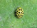 Psyllobora vigintiduopunctata 05.JPG