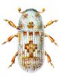 Pteleobius vittatus.png
